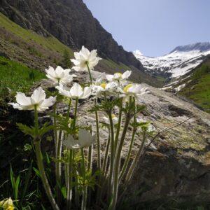 Pulsatille des Alpes en fond cirque de Chargès